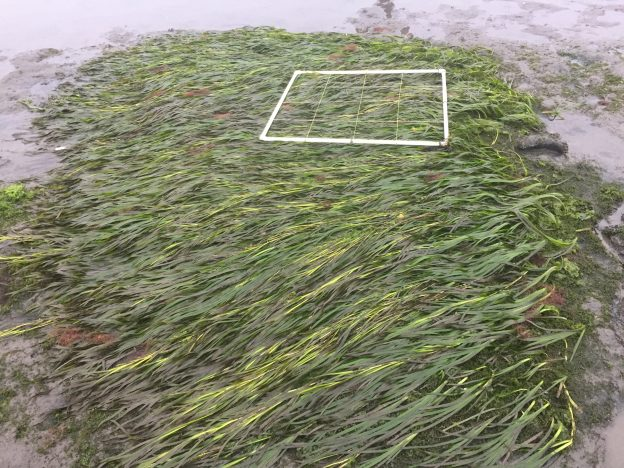 This eelgrass plot, transplanted in March of 2017, is thriving.
