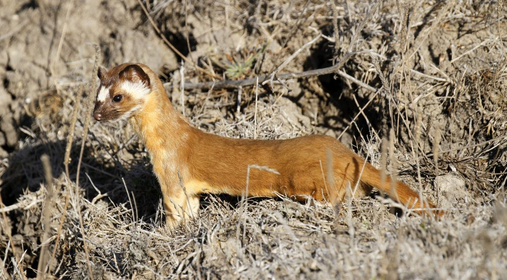 This is a long-tailed weasel, a closer relative to sea otters than either dogs or sea lions. Photograph courtesy of Robin Agarwal via Flickr Creative Commons License.