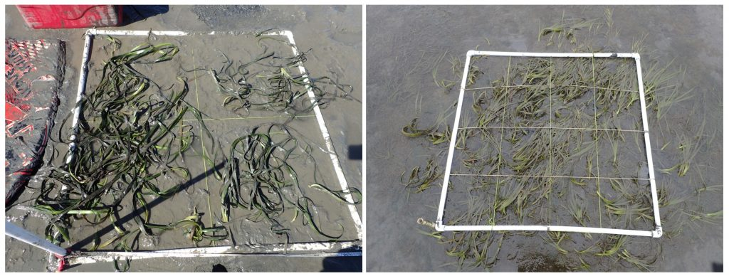 Photos of the backbay plots. These plots aren't doing as well as the other restoration plots but are still slightly expanding from the original plot area (left photo).