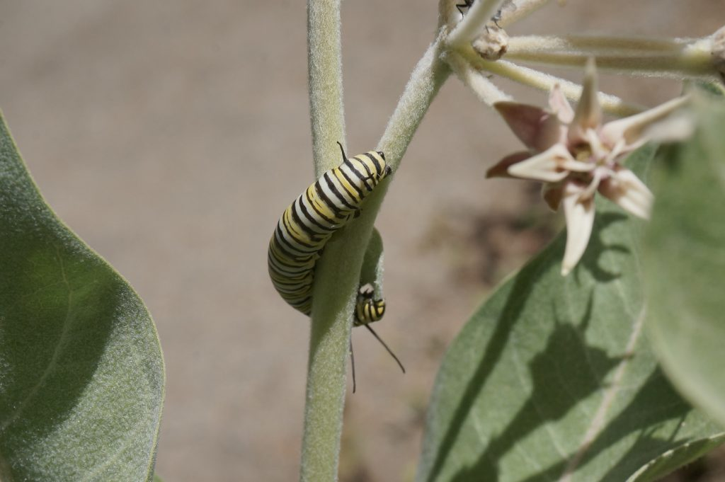A monarch caterpillar, or larva, climbs up a Showy Milkweed (Asclepias speciosa). Photograph courtesy of Debbie Ballentine, via Flickr Creative Commons license.