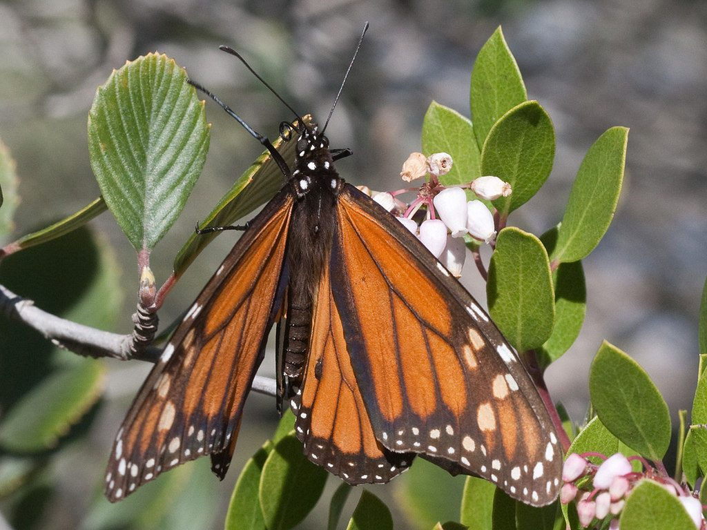 A monarch butterfly feeds on nectar from manzanita blooms. Photograph courtesy of JKehoe_Photos, via Flickr Creative Commons license.