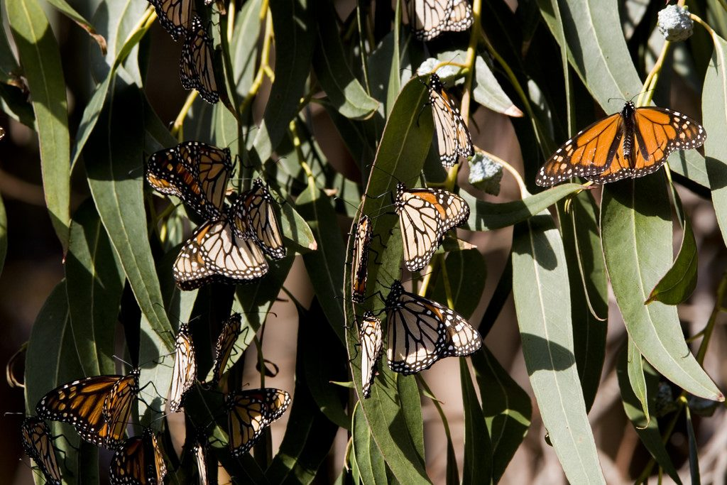 "Monarch butterflies cluster on eucalyptus leaves in Sweet Springs Nature Preserve. Photograph courtesy of Michael ""Mike"" L. Baird, bairdphotos.com by Flickr Creative Commons license."