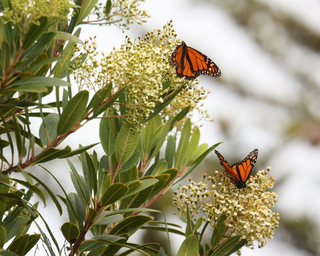 These monarchs were spotted in Montana de Oro State Park, just south of the Morro Bay watershed.