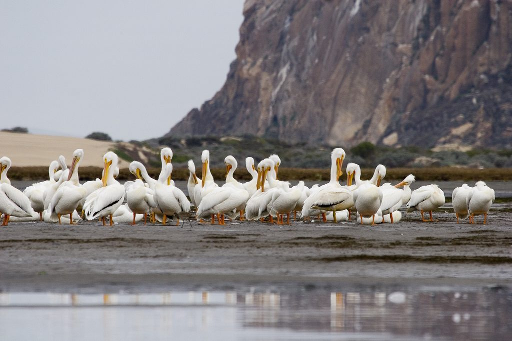 A group of white pelicans sits by Morro rock.