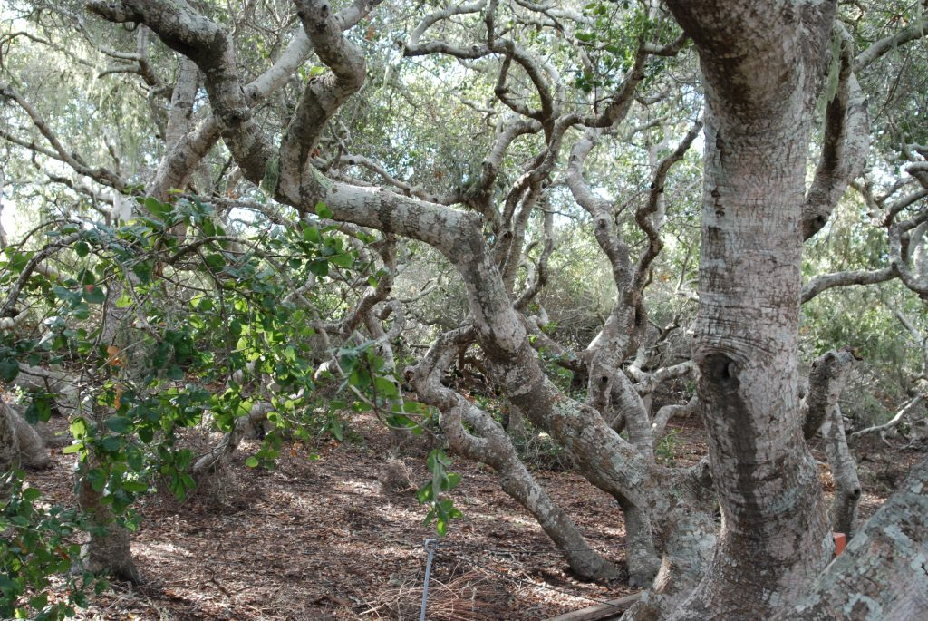 The coast live oaks in the Elfin Forest are genetically the same as other coast live oaks, but they have been stunted by harsh conditions including poor soil quality and strong winds.