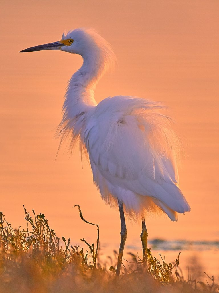 An egret stands on the edge of Morro Bay. Photograph courtesy of Gregory Siragusa, co-owner and photographer at Gallery at Marina Square.