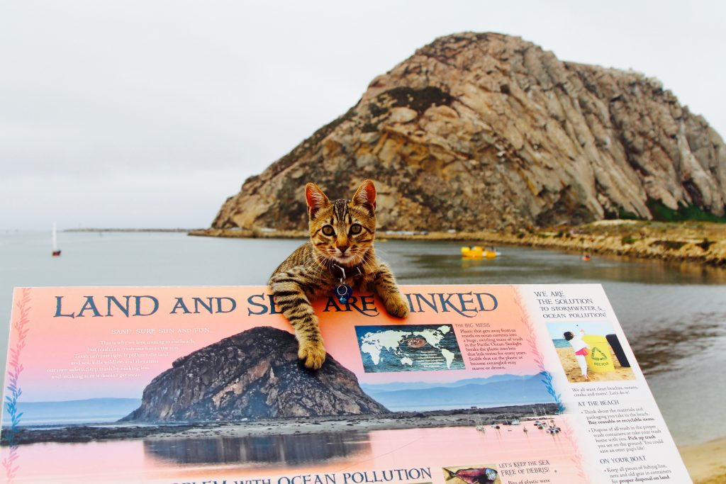 Rascal the cat, who lives and occasionally paddleboards with Jim and Mary Robinson of Morro Bay Stand Up Paddleboarding loves the bay, too. Rascal is especially fond of watching crabs!