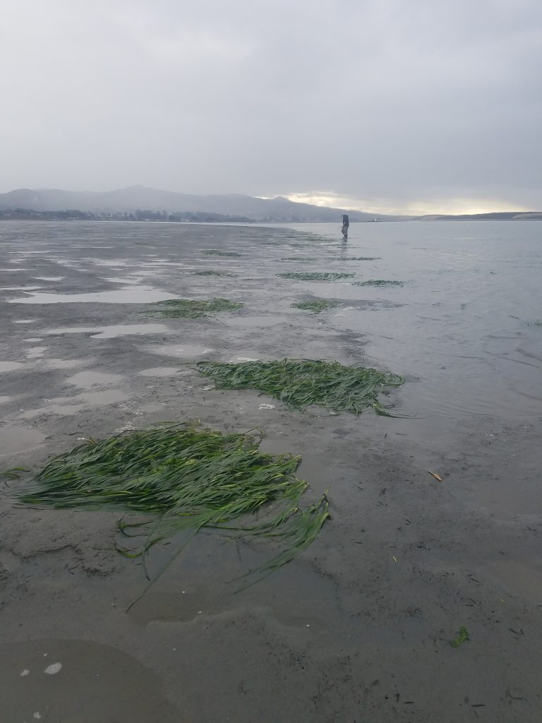 Eelgrass transect monitoring. These patches are near the transect at State Park Marina.  Most of these patches are around one-meter byone-meter in size, and were not here when we surveyed this area last year.
