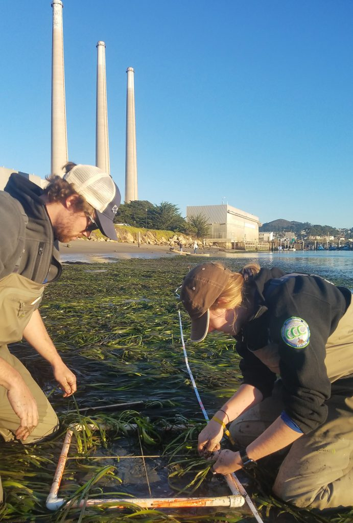 Eelgrass transect monitoring. Watershed Stewards Program members Melia and Doug work on counting the number of eelgrass shoots within a 0.5m by 0.5m area.