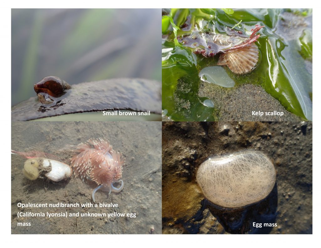 Here are some photos of animals we saw while monitoring eelgrass transects. Based on the photo in the top right, we are wondering if the yellow egg mass is that of the bivalve California lyonsia.