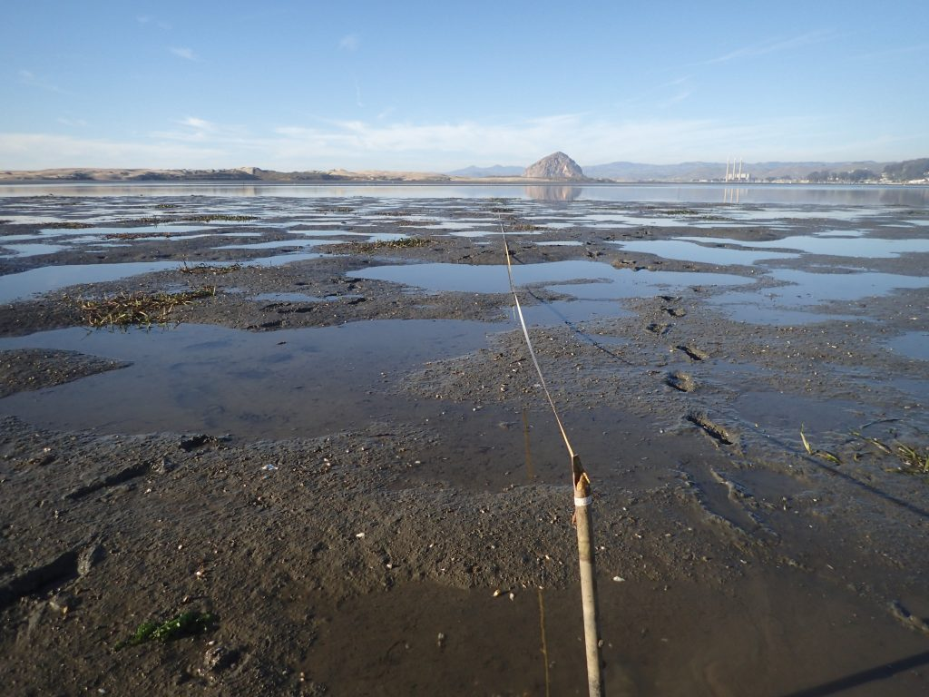 Small patches of eelgrass across from Pasadena Point in Los Osos.
