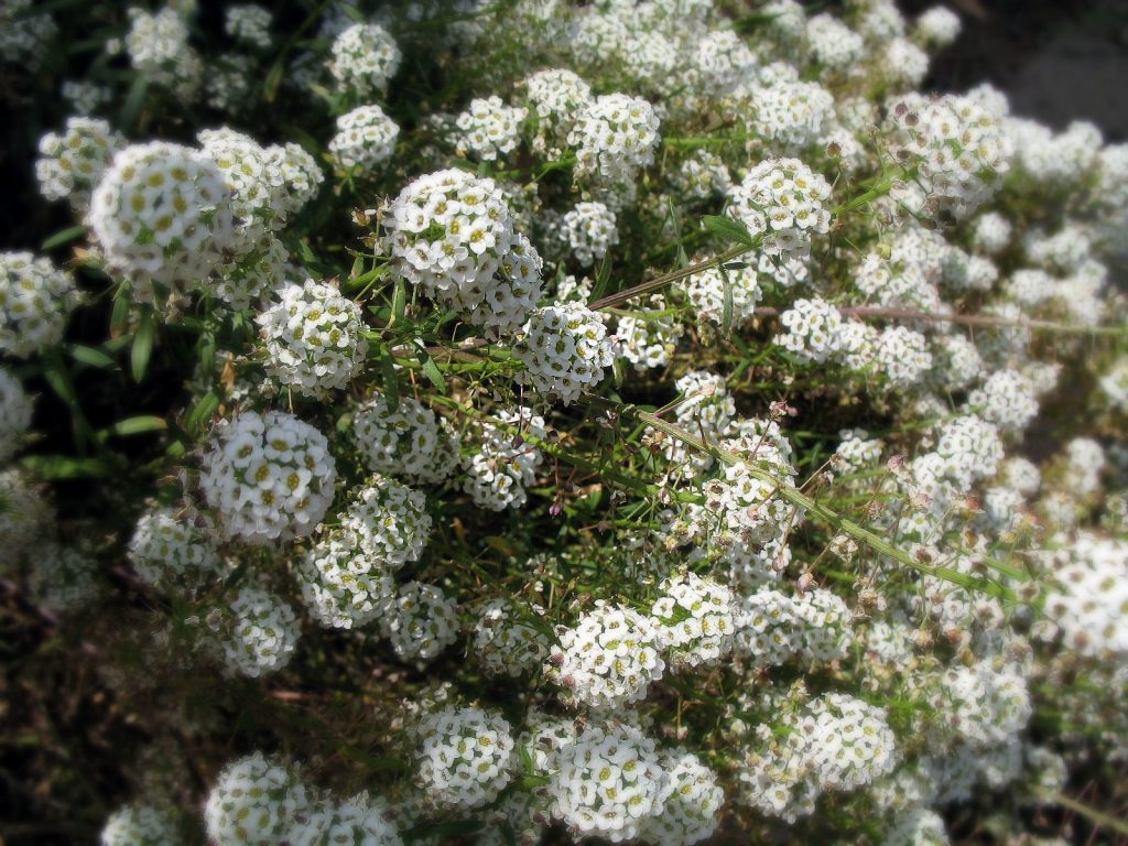 Sweet alyssum grows along the trail up Black Hill. Photograph courtesy of Karen via Flickr Creative Commons License.