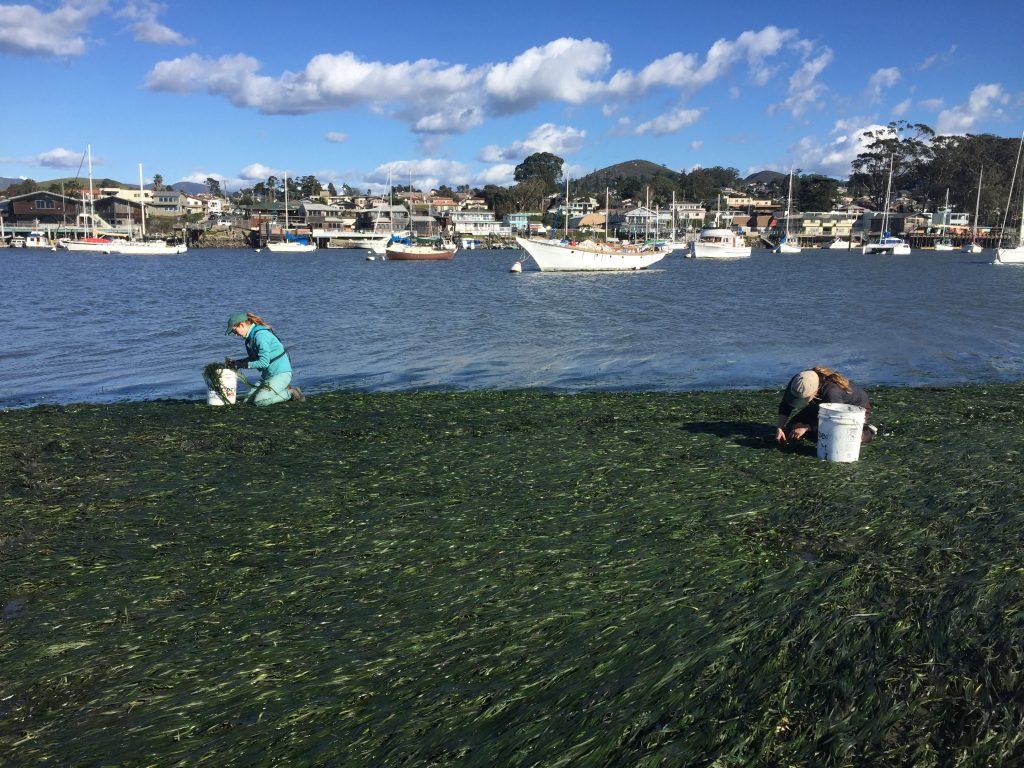 The weather cooperated well enough to give us this beautiful day out on the estuary, which we spent harvesting eelgrass from a large, healthy bed.
