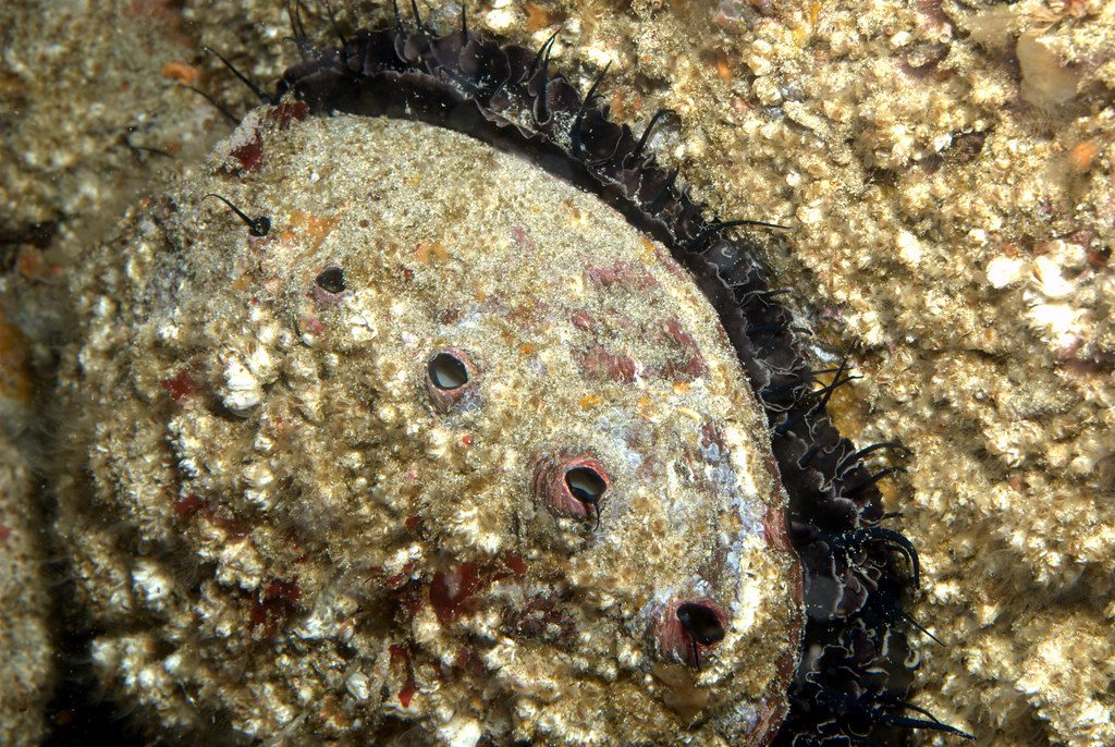 Big red abalone by Ed Bierman