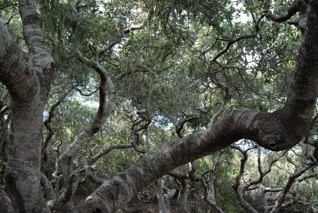 The El Morro Elfin Forest is also a good place to see coast live oaks, though the trees here have been stunted by the harsh conditions and grow to only about 20 feet tall.