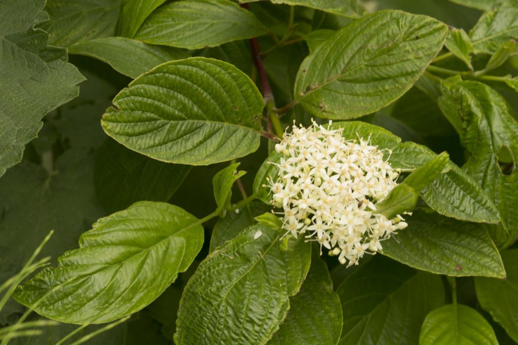 You can find creek dogwood along many of the streams that drain into Morro Bay. This plant has reddish stems and dark green leaves. It flowers during the summer.