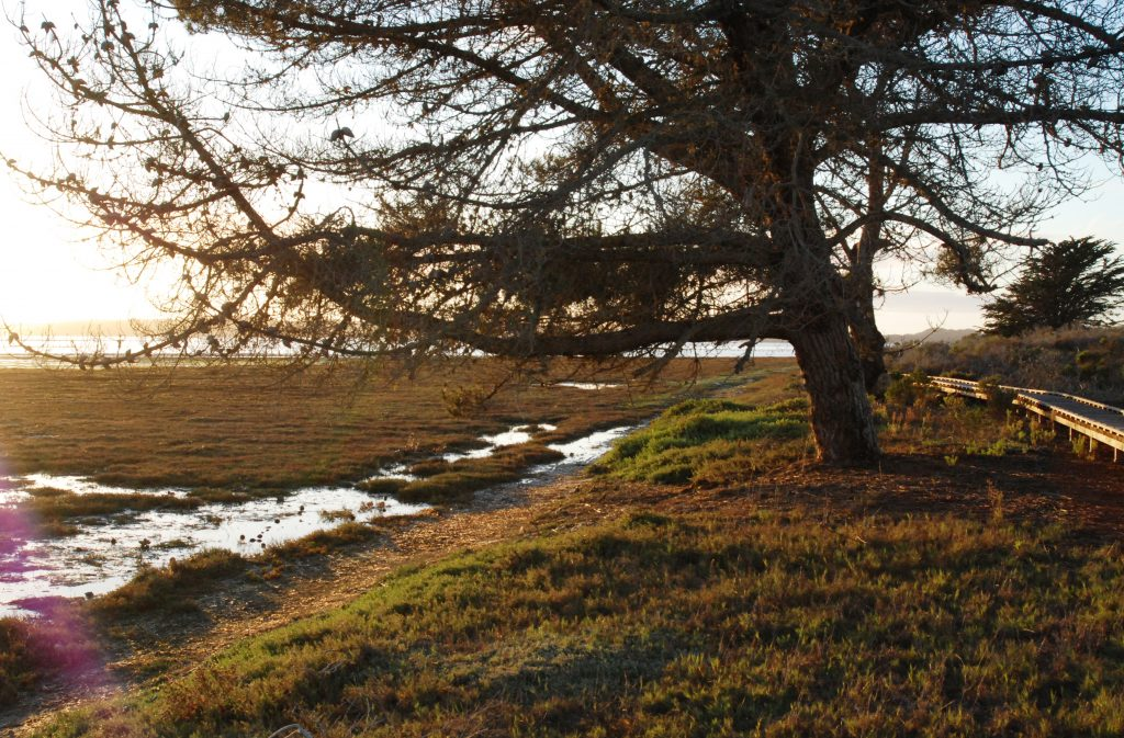 Monterey Pine, Morro Bay State Park Marina Peninsula Trail