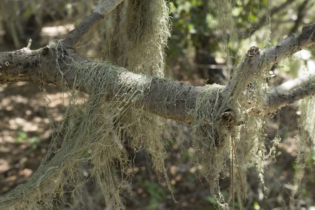 Whether the coast live oaks are full-sized or stunted, you'll often seen lace lichen hanging from their branches. The lichen does not harm the trees.