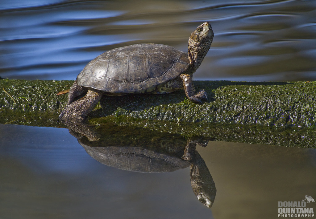 Western pond turtle at Sweet Springs Nature Preserve, photographed by Donald Quintana, via Flickr Creative Commons License.