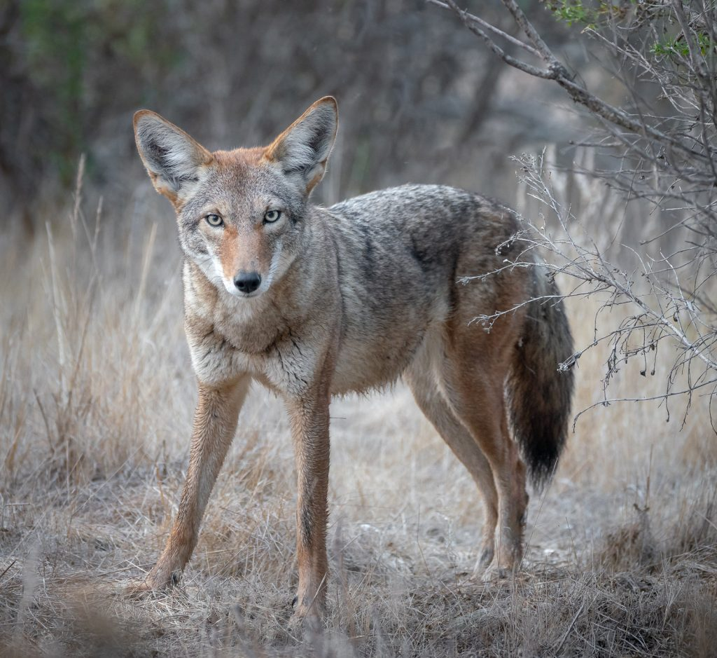 Photographer Alice Cahill spotted this coyote near the edge of the estuary. Photograph sourced from Flicker, via Creative Commons license.