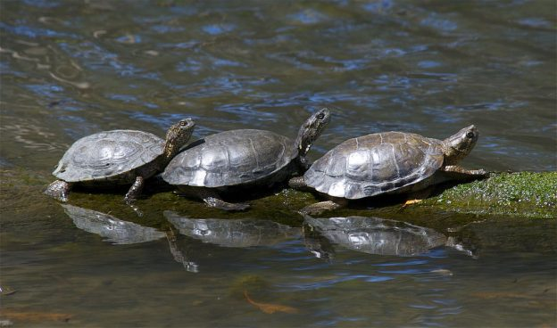 Three western pond turtles sunbathe at Sweet Springs Nature Preserve. Photograph by Jerry Kirkhart, via Flickr Creative Commons License.
