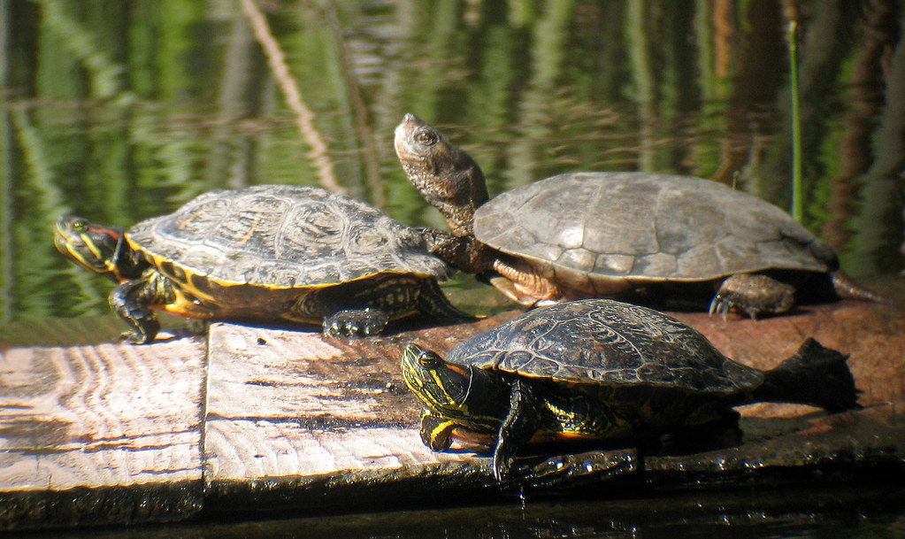 Two red-eared sliders and a western pond turtle.