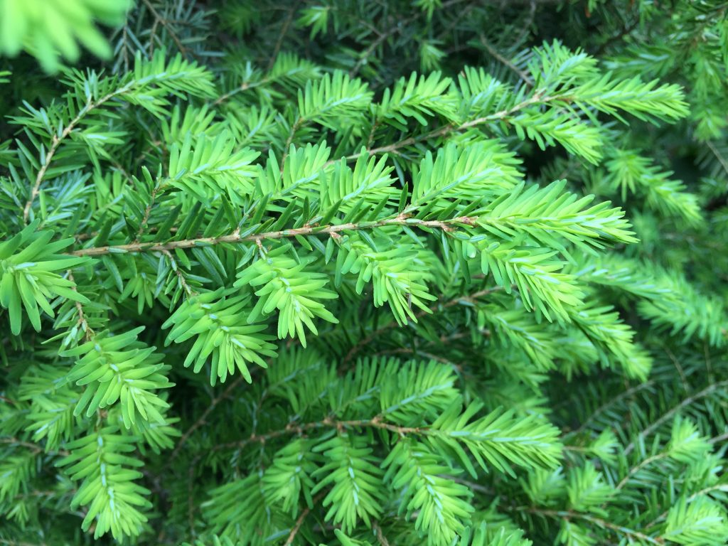 Eastern Hemlock new growth along Terrace Boulevard in Ewing, New Jersey_was used by Native Americans as a sunscreen