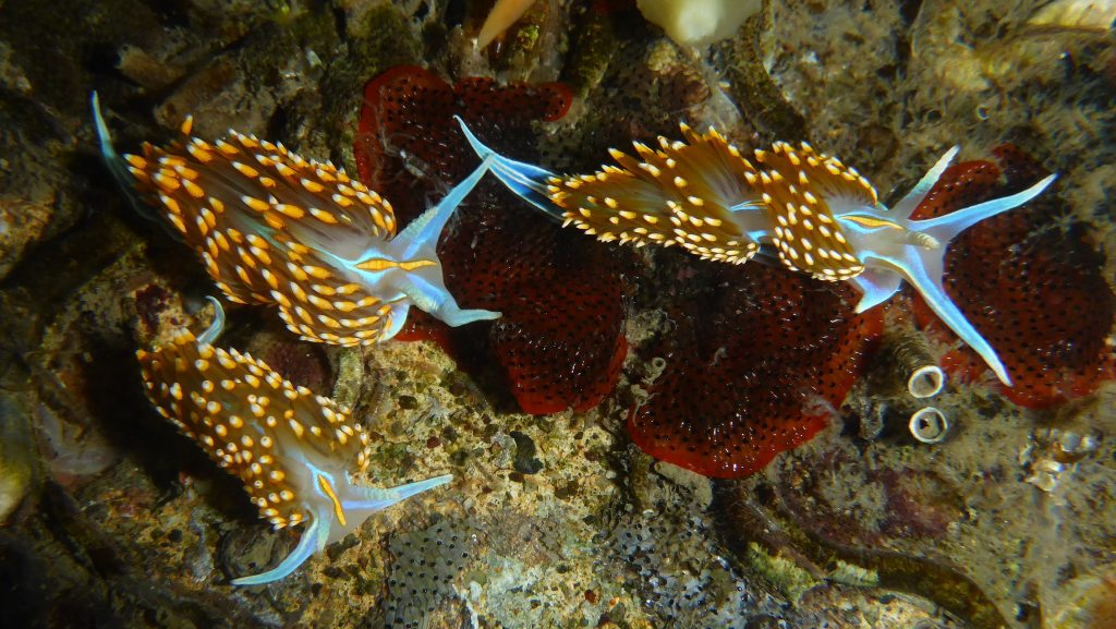 Three Opalescent Nudibranchs (Hermissenda opalescens). Photograph courtesy of Robin Agarwal via Flickr Creative Commons License