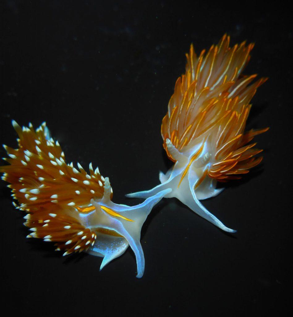 This photograph shows the differences between a large H. opalescens on the left and H. crassicornis on the right.