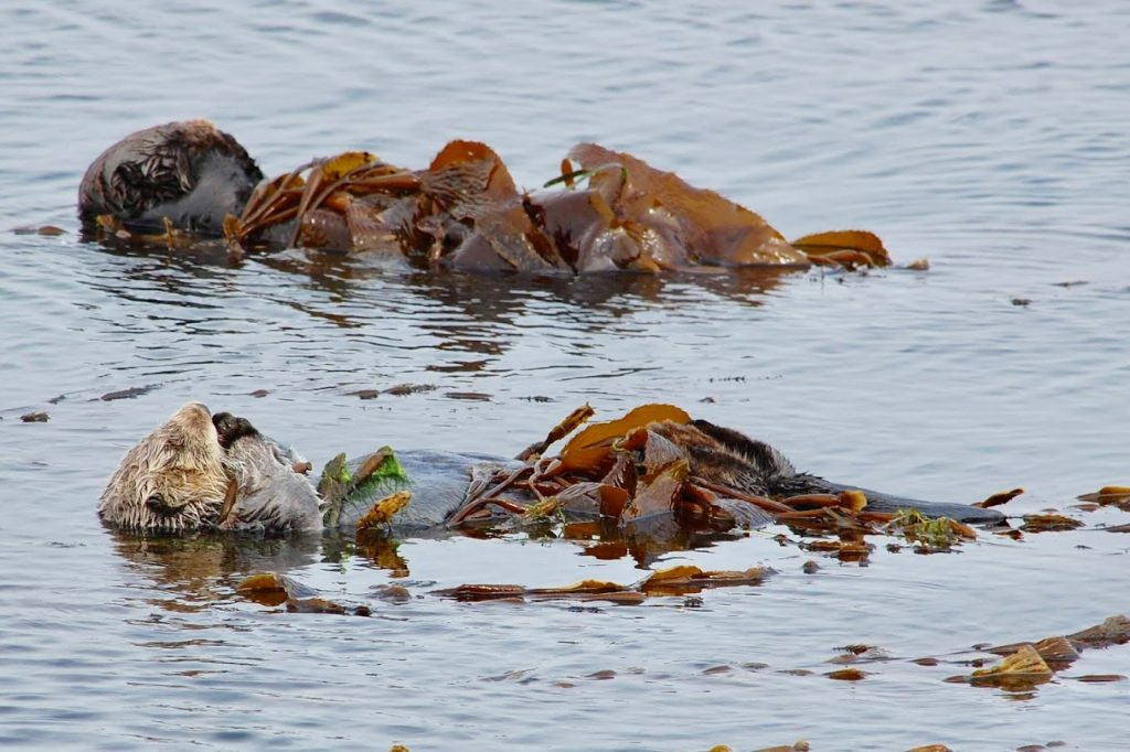 Sea otters in Morro Bay, napping to conserve energy