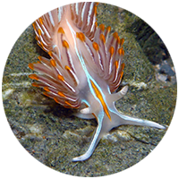 Opalescent Nudibranch copyright Robin Agarwal