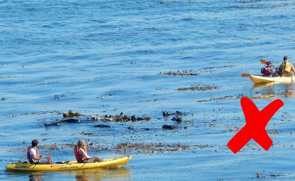In the photograph above, the kayakers are trying to get a good photograph using their smart phones and are too close for comfort to the sea otters. The two kayaks are also encircling the sea otter raft, which can make the otters feel trapped and threatened.