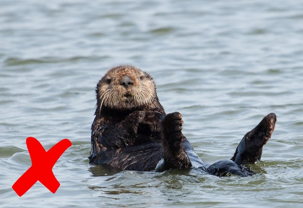 Sea otter is distrubed by photographer