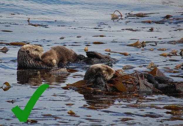 The best sea otter picture is one where the sea otters aren't looking at the camera because they don't even know you're there. The photographer who captured this shot stayed quiet and kept far enough away from the otters so they could carry on resting, as they need to do to stay healthy.
