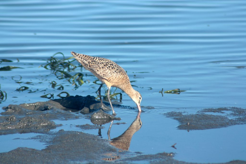 A bird forages for breakfast in small patch of eelgrass