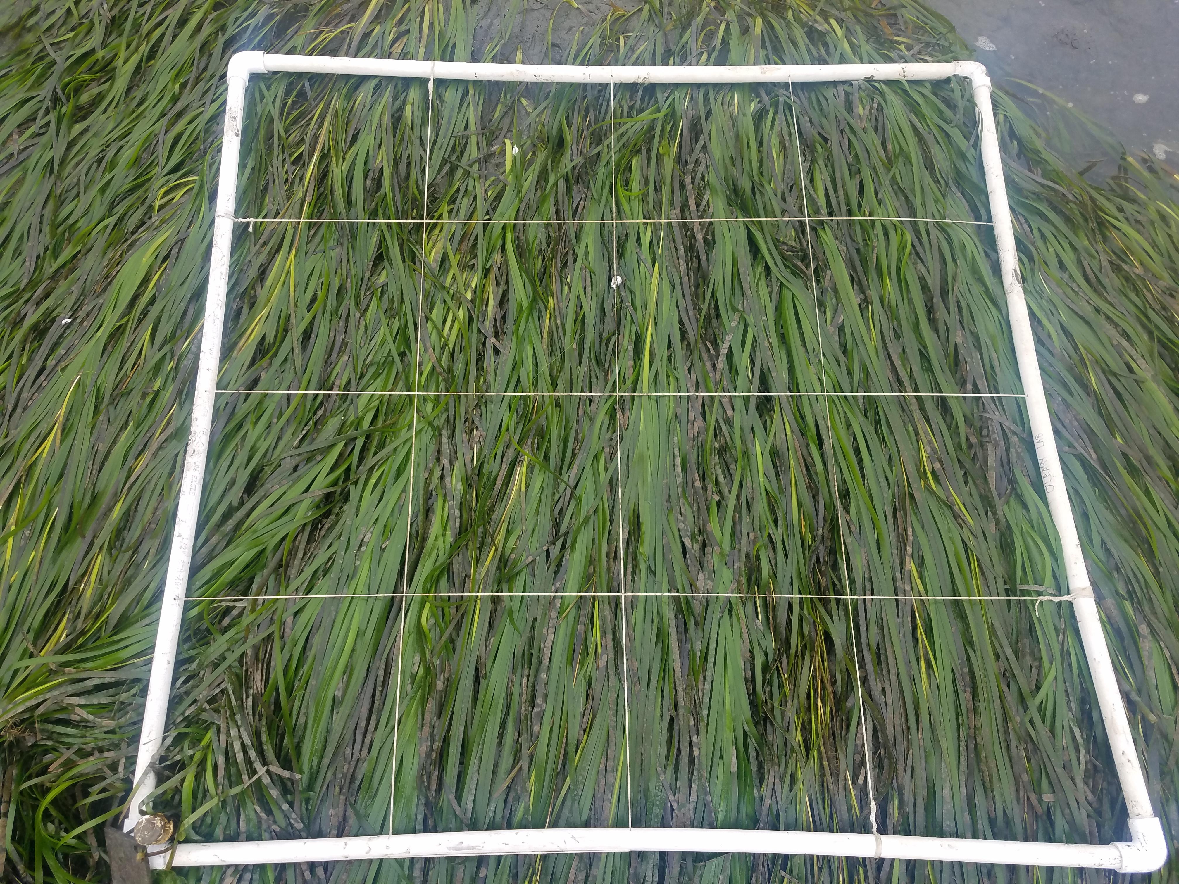 Eelgrass plot quadrat
