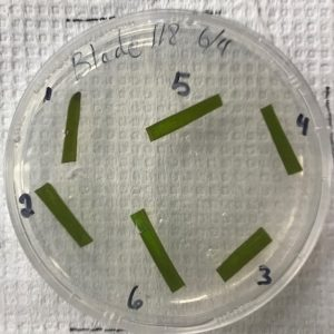petri dish with eelgrass samples