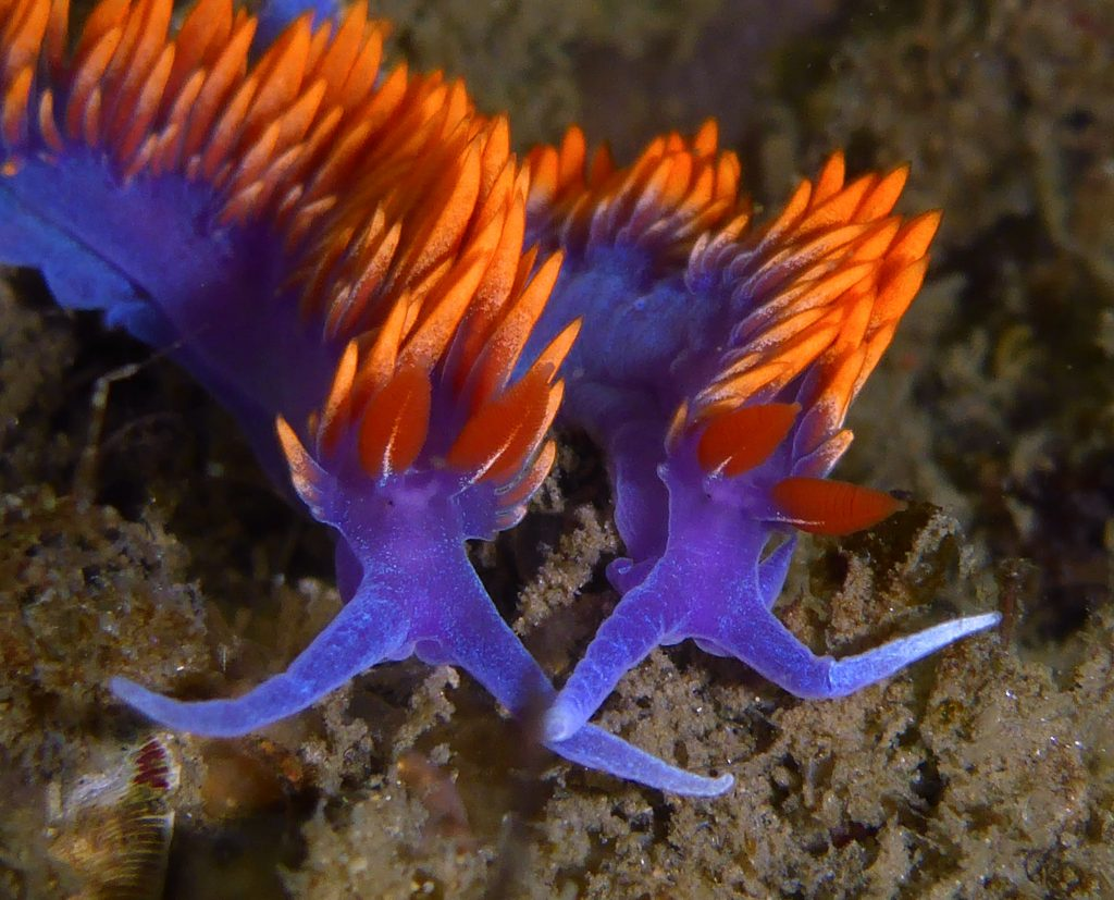 Two spanish shawl nudibranchs eat Eudendrium hydroids