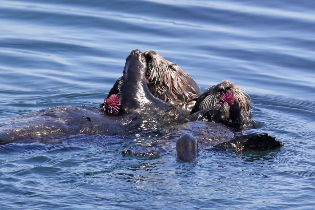Mom sea otter and her pup eats a purple urchin.