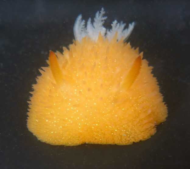 Acanthodoris lutea nudibranch smells like citrus or cedar