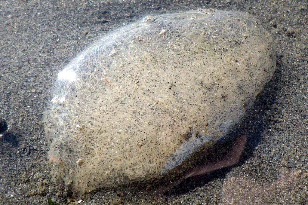 navanax egg mass
