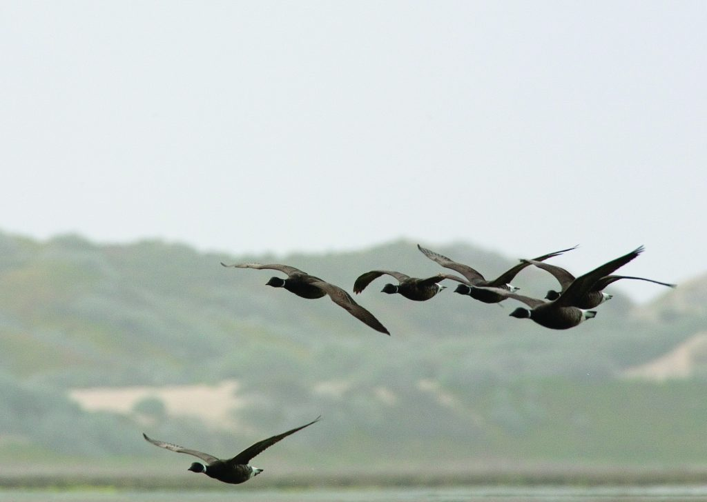 "The number of brant observed in Morro Bay over the past seven years has been relatively stable but more than 90% lower than the most recent peak in 2002. Photo courtesy of Michael ""Mike"" Baird, bairdphotos.com."