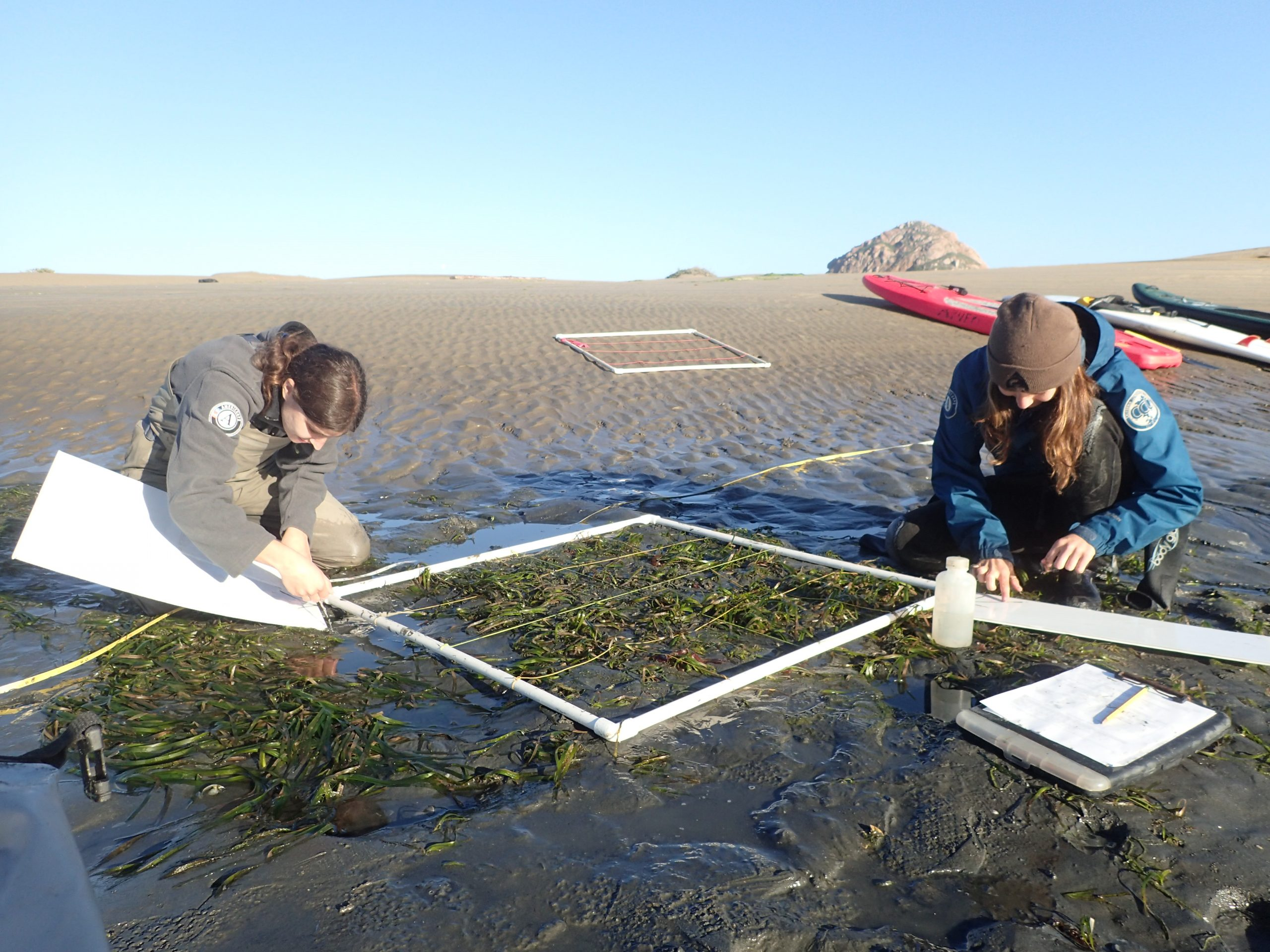 Does Morro Bay support healthy eelgrass beds?