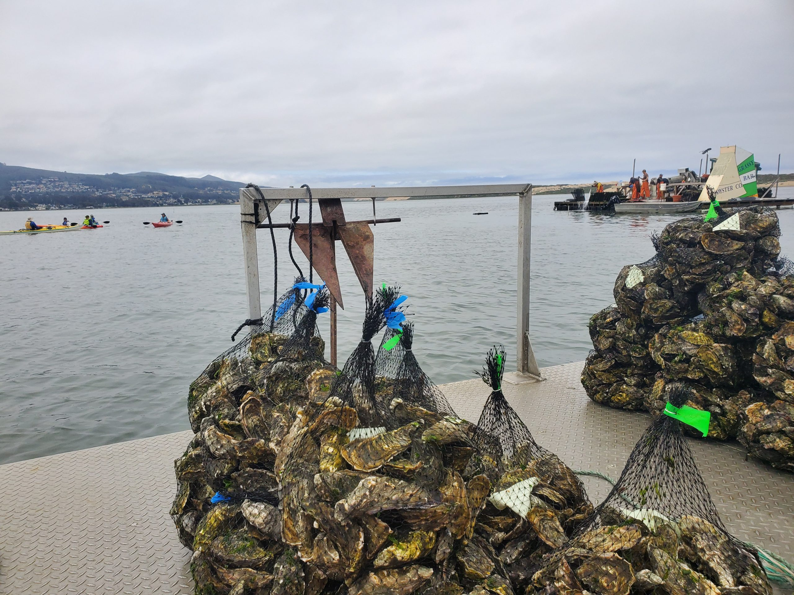 Is the bay clean enough to support commercial shellfish farming?