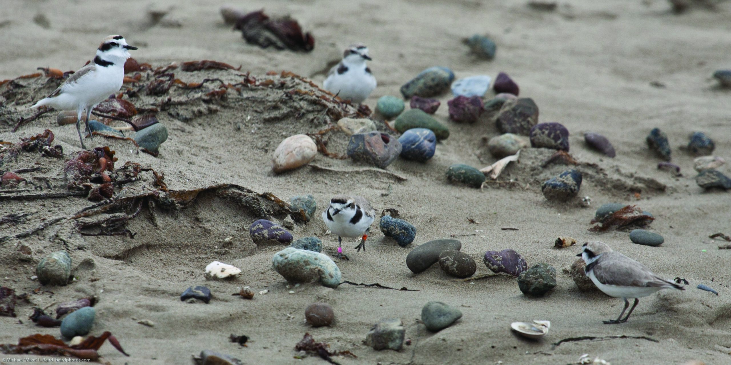 "Over the past eighteen years, western snowy plovers have laid an average of 176 nests each season on the Morro Bay sandspit. Photos courtesy of Michael ""Mike"" Baird, bairdphotos.com."