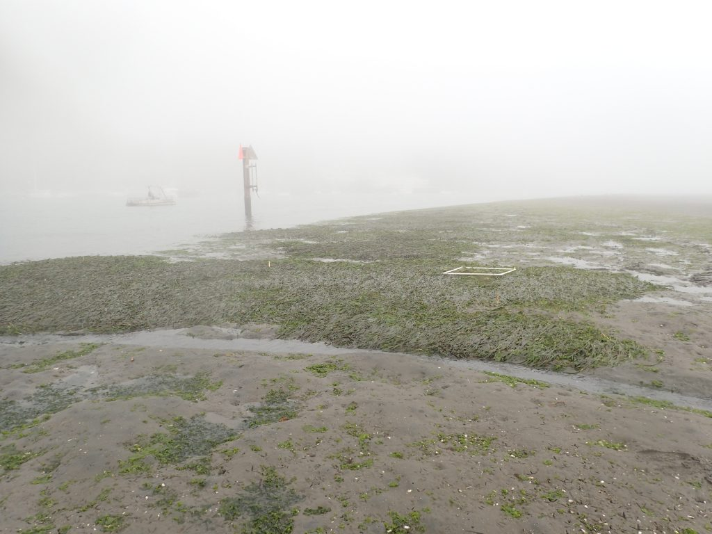 Pardon the image quality – this particular field day was a classic Morro Bay field day – started out sunny and warm, and ended extremely foggy and cold. This is photo of one of our restoration sites that we have planted at three years in a row. This photo is looking at parts planted in2017 and 2018. As you can see, they have expanded together, now forming a pretty substantial eelgrass bed.