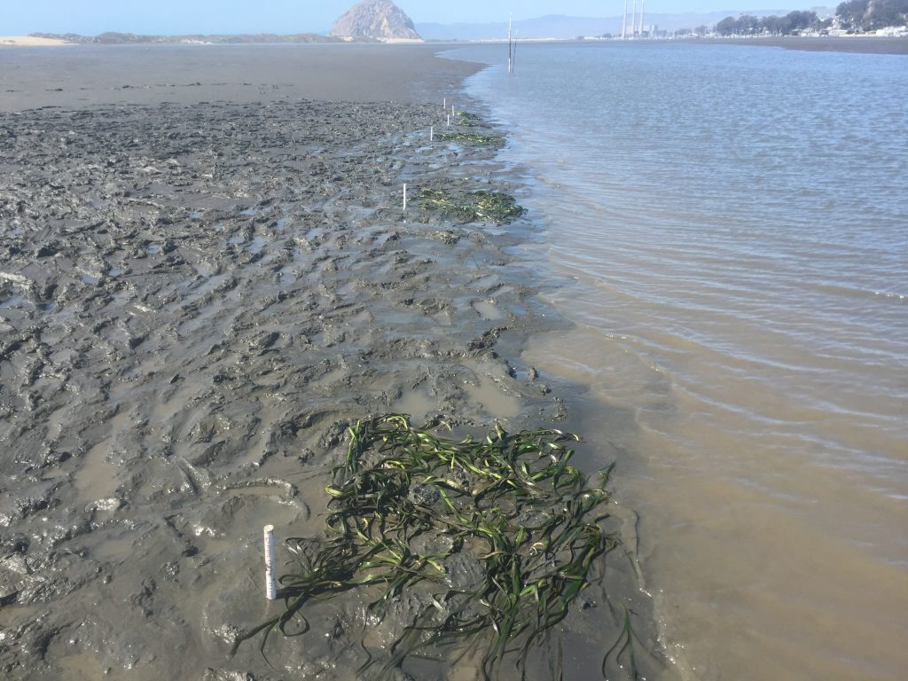 Initially, we planted eelgrass in six locations, spaced a few meters apart, as you can see in the photograph above.