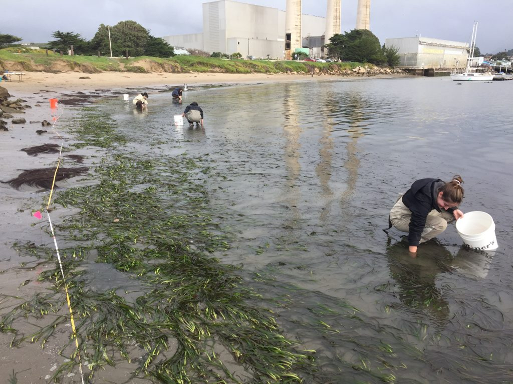 Eelgrass Harvesting