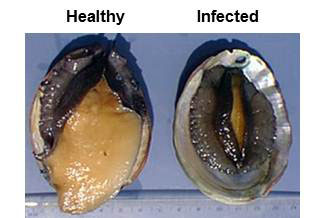 Abalone Withering Syndrome