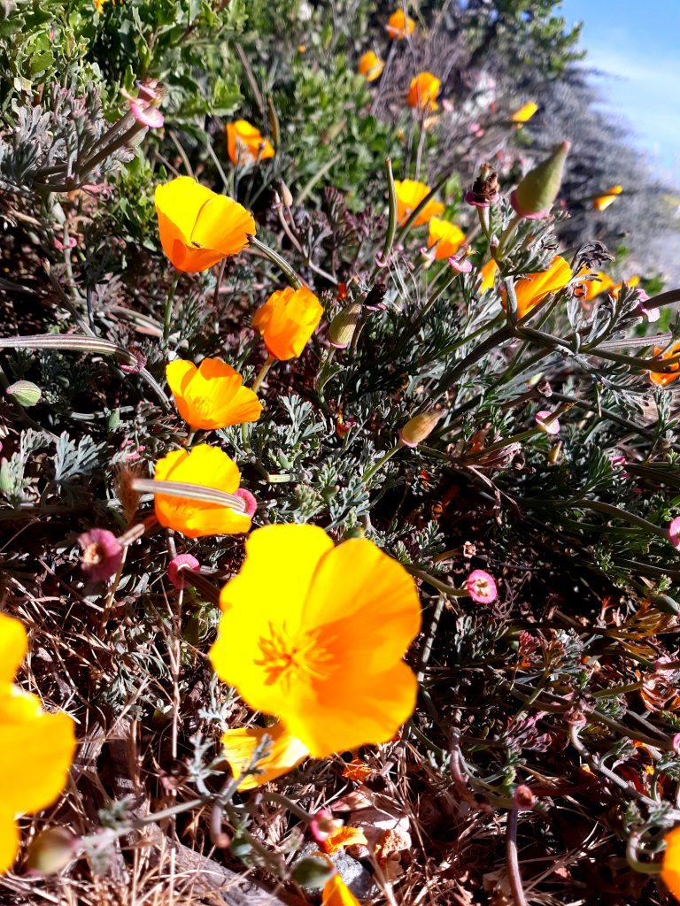 California poppies and other flowers bloom